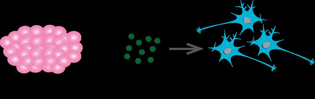 stemcell-differentiation